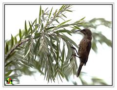 Sunbird (Crested Aperture Photography) Tags: sunbird bird birds birdsofuganda uganda ggaba nikon500mmf4 ouiseaux aves uccello vögel eastafrica kampala