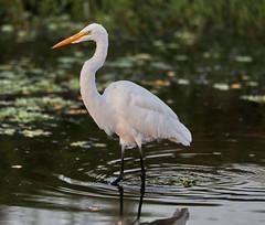 09-15-18-0035136 (Lake Worth) Tags: animal animals bird birds birdwatcher everglades southflorida feathers florida nature outdoor outdoors waterbirds wetlands wildlife wings