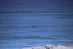 IMG_3655 (gervo1865_2 - LJ Gervasoni) Tags: surfing with whales lady bay warrnambool victoria 2017 ocean sea water waves coast coastal marine wildlife sealife blue photographerljgervasoni