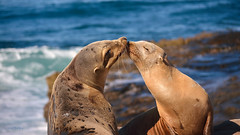 Love Connection (VGPhotoz) Tags: vgphotoz loveconnection kiss marinelife beachscene sealthedeal california sealbeach happycouple usa seals iloveyou nature naturephotography artisticphotography photography portrait love connected