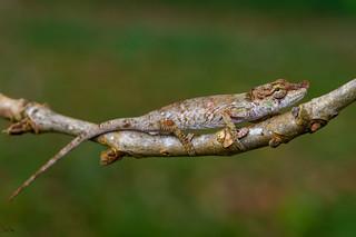 Big nose-horned chameleon