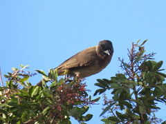 Pycnonotus tricolor (dhobern) Tags: 2018 aves doornkloof passeriformes pretoria pycnonotidae pycnonotustricolor september southafrica pycnonotustricolorlayardi