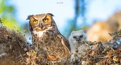 Owl Family (agnish.dey) Tags: bird birding birdwatching birdsofprey sunlight sky owl owlet eyes nest florida naturallight nature naturephotograph naturethroughthelens nikon animalplanet coth wildlife