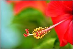 Good Afternoon! (SHAN DUTTA) Tags: macro hibiscus red nikon d5300 stamen pistil