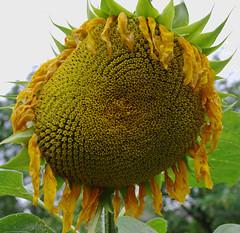 Naisten lehden tilaajalahja siemenistä kasvatetut auringon kukat.kasvoivat yli aidan korkuisiksi kesällä 2011 (raimolehto1) Tags: kukat vantaa suomi
