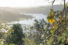 Spring kowhai (Titine) Tags: leaf flora tree kowhai green yellow flower depth field landscape wenderholmregionalpark spring