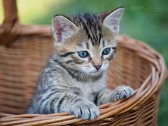 Bas-cat (Karsten Gieselmann) Tags: 40150mmf28 bokeh dof em5markii katzen mzuiko microfourthirds natur olympus saeugetiere schärfentiefe tiere kgiesel m43 mft nature