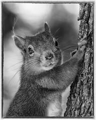 IMG_0054 Red Squirrel Mono (Scotchjohnnie) Tags: redsquirrel sciurusvulgaris squirrel squirrelphotography rodent mammal wildanimal wildlife wildlifephotography wildandfree nature naturephotography naturewildlifeandbirds canon canoneos canon7dmkii canonef70200mmf28lisiiusm scotchjohnnie mono blackwhite