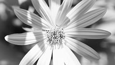 Pure white petals (vinnie saxon) Tags: nature nikon nikoniste blackandwhite monochrome macro flower