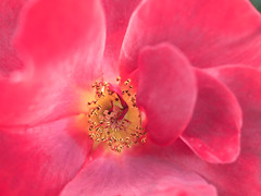 Rose Center (Orbmiser) Tags: mzuikoed1240mmf28pro 43rds em1 mirrorless olympus ore portland m43rds flower rose macro