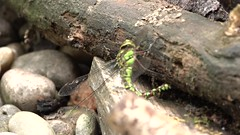 Laying eggs (hedgehoggarden1) Tags: southernhawkerdragonfly odonata insect nature sonycybershot wildlife norfolk eastanglia uk logpile video hawker dragonfly videoclip layingeggs