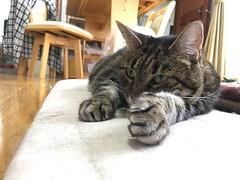 Neko Punch! (sjrankin) Tags: 4september2018 edited animal cat floor livingroom kitahiroshima hokkaido japan closeup tigger