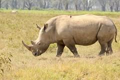 Sunny day (Nagarjun) Tags: lakenakurunationalpark kenya eastafrica wildlife bigfive whiterhino whiterhinoceros southernwhiterhinoceros ceratotheriumsimumsimum safari gamedrive herbivore biggame