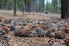 Pine cones gather and surreptitiously plot the revolution (rozoneill) Tags: cinder cone butte lake prospect peak fantastic lava beds painted dunes lassen volcanic national park california hiking