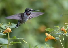 Ruby-throated Hummingbird (Archilochus colubris) (mesquakie8) Tags: bird hummingbird flyingorsittingonplants periodicallyflashingitsgorget juvenilemale rubythroatedhummingbird archilochuscolubris rthu dixonwaterfowlrefugehennepinhopperlakes putnamcounty illinois 1358