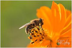 """""""Honey bee"""" (Bob Geilings) Tags: bee honeybee flower orange macro nature bokeh"""