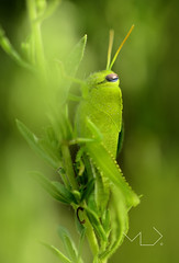 ... Is it true that we live in a Green Planet ??? (Device66.) Tags: green grasshopper xicon yeahh myreto verde macros
