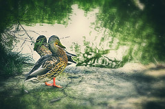 Couple (niladree1710) Tags: couple ripple duck water lake green calm