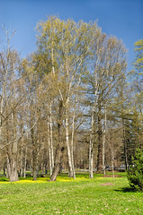 The spring birches. (g_reg_walker) Tags: city center cityscape historical perspective view day morning sunny russia saint petersburg island kamenny season spring sky blue excursion sights sightseeing stroll tourism tourist walk park nature domestic flora grass green yellow tree birch sense beauty