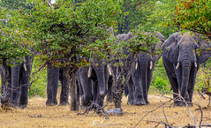EXÉRCITO_SELVAGEM_EM_AÇÃO_LIWONDE_RESERVE_PARK_MALAWI  WILD_ARMY_IN_ACTION_LIWONDE_RESERVE_PARK_MALAWI (paulomarquesfotografia) Tags: exército selvagem em ação liwonde reserve park malawi wild army in action paulo marques sony hx400v animais animal elefante arvores trees selva jungle fauna africa
