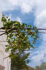 la tettoia di vite (rafpas82) Tags: sicilia sicily tettoia cielo vite pergolato sky bucolico xt20 fujifilmxt20 1855fuji fujinon1855 rural ruraldecay