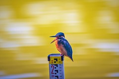Okay ..... You are 2 meters tall. (Changer4Ever) Tags: nikon d750 150600mm bird animal life nature outdoor color bokeh dof depthoffield feather wildlife 150600mmf5063 kingfisher commonkingfisher