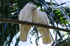 Cacatua sanguinea (betadecay2000) Tags: cacatuasanguinea crocodyluspark darwin northernterritory australia kakadau northern australien territory vogel bird birds love vögel voegel zwei two pärchen paar ave aves natur nature oz aussie