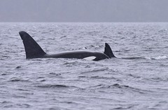 T19B, T18 and T19 (sjr627) Tags: transient killer whales orcas biggs t18s southern gulf islands