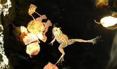 Spreading Frog (Stanley Zimny (Thank You for 33 Million views)) Tags: frog water amphibian critter