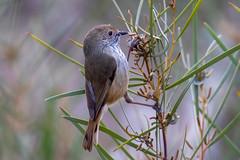 Brown Thornbill (Acanthiza pusilla) (petermurphy14) Tags: wildlifeofaustralia australiannationalbotanicgardens brownthornbill canberra canberrabirds thornbill australianbirds birds birdsofaustralia