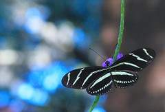 Zebra longwing butterfly on porterweed blossom (greenkayak) Tags: zebralongwing butterfly porterweed purple nature backyard valrico florida august