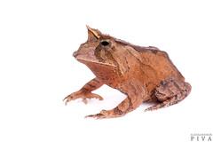 Smooth horned frog (Proceratophrys boiei) (Alessandher Piva) Tags: proceratophrys boiei frog toad sapo herpetology herpeto herpetologia piva alessandher blumenau santa catarina mata atlântica biólogo amphibian amphibia anfíbio