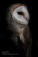 Out of the shadow... (KevinBJensen) Tags: bird pics prey pictures wbpa model beauty beautiful barn owl raptor animal photography photograph images wildlife wild photographer nature light shadow netherlands natural