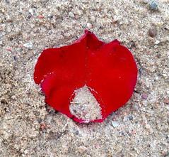 Ruusunlehti - Rose Petal (Versacrum) Tags: art estonia rosepetal sand