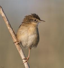 Cisticola buitrón (Antonio Lorenzo Terrés) Tags: ave bird cisticola buitron juncidis fauna nature naturaleza carrizales laguna parque natural