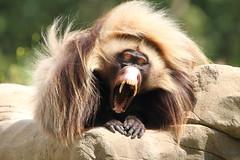 A pretty fearsome yawn! (charliejb) Tags: gelada baboon yawn teeth gums fur furry furred primate 2018 wildlife wildplace bristol geladarock mammal patchway cribbscauseway