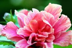 Pink Hibiscus Beauty from Tahiti (Christian Chene Tahiti) Tags: canon 6d flore tahiti pf polynésiefrançaise frenchpolynesia fleur flores flower couleur color jardin nature beauté beauty hibiscus aute double fleurdepolynésie floredepolynésie floredetahiti fleurdesîles fleurdetahiti macro pollen pink paea rose pistil plante pétale fond blanc pastel calme brillant dentelle macromonday beautiful