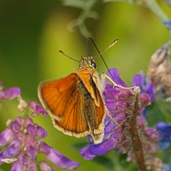 2018_07_0382 (petermit2) Tags: smallskipperbutterfly smallskipper butterfly northcavewetlands northcave brough eastyorkshire eastridingofyorkshire yorkshire yorkshirewildlifetrust ywt wildlifetrust wildlifetrusts