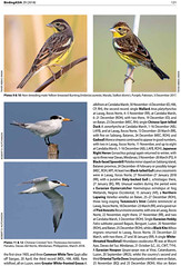 Two images published in oriental birds club magazine (T@hir'S Photography) Tags: orientalbirdclub magazine publish record rare yellow breasted bunting icun redlist