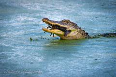 Fresh-water Lobster (Birds and Other Cools Stuff!) Tags: alligator gator teeth crunch splash chomp bite crush crab crawfish lobster water hunt feed lake wildlife summer