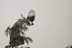 To the skies.... (Anxious Silence) Tags: maidenhead garden snow winter tree branch firtree nature animal bird wildlife corvid magpie flight flying