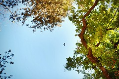 Flying above trees (Jehan Al-Maghamsi) Tags: outoffocus blur 2018 april turkey istanbul leaves yellow green park flying bird tree