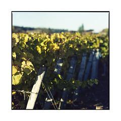 vineyards 3 • burgundy, france • 2017 (lem's) Tags: vineyards vignes vignoble wine vin grapes raisins burgundy bourgogne france zenza bronica