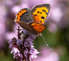 Small Copper on heather (wildwalker3) Tags: butterfly smallcopper langden bowland forestofbowland heather purple