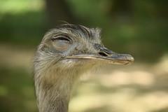 DSC_0254 (Vinc3r) Tags: animal zoo autruche