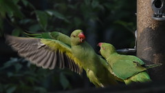 Fracas at the Feeder (eon60) Tags: parakeet
