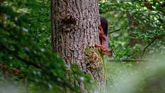 Ecureuil [Explore] (Alexandre LAVIGNE) Tags: pentaxk20d smcpentaxda300mm14sdm 2012 ecureuil forêt arbre feuillage forest nature squirrel mennevret picardiehautsdefrance france