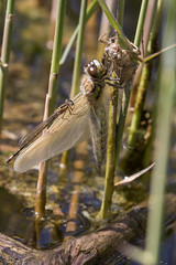 Damselfly on a freshly moulted dragonfly (Ron Winkler nature) Tags: dragonfly odonata insect insects arthropod awd netherlands nederland europe canon 100400ii macro animal wildlife nature 7dii