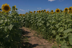 (Theresa Best) Tags: sunflower nature flower wisconsin maze summer travel wanderlust canon canon760d canon8000d canont6s theresabest