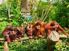 Singapore Zoo residents enjoying their breakfast (Veselina Dimitrova) Tags: travel travelling fun photography photooftheday animals animal pictureoftheday bestoftheday breakfast jungle zoo singapore singaporezoo monkeys monkey
